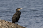 Great Cormorant/Phalacrocorax carbo, Family Cormorants
