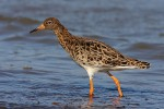 Ruff/Philomachus pugnax - Photographer: Николай Стайков