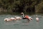 Greater Flamingo/Phoenicopterus roseus - Photographer: Тео Тодоров