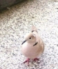 Eurasian Collared-dove/Streptopelia decaocto - Photographer: Nelly
