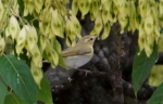 Wood Warbler/Phylloscopus sibilatrix, Family Warblers