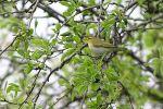 Wood Warbler/Phylloscopus sibilatrix - Photographer: Емил Енчев