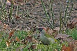 Eurasian Green Woodpecker/Picus viridis - Photographer: Борис Белчев