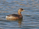Pied-billed Grebe/Podilymbus podiceps - Photographer: Даниел Митев