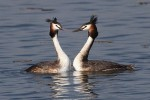 Family Grebes, Great Crested Grebe/Podiceps cristatus