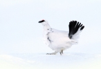 Rock Ptarmigan/Lagopus muta, Family Grouse