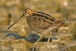 Common Snipe/Gallinago gallinago, Family Sandpipers