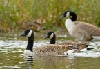 Family Waterfowl, Canada Goose/Branta canadensis - Photographer: Борис Белчев