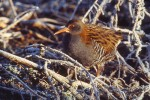 Family Rails, Water Rail/Rallus aquaticus