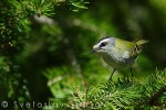 Family Kinglets, Firecrest/Regulus ignicapilla - Photographer: Светослав Спасов