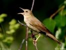 Eurasian River Warbler/Locustella fluviatilis, Family Warblers