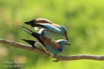 European Roller/Coracias garrulus - Photographer: Sergey Panayotov
