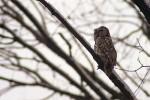 Tawny Owl/Strix aluco - Photographer: Младен Василев