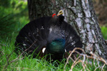 Family Grouse, Western Capercaillie/Tetrao urogallus