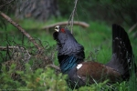 Western Capercaillie/Tetrao urogallus, Family Grouse