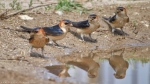 Red-rumped Swallow/Cecropis daurica, Family Swallows, Martins