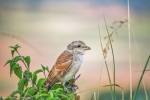 Red-backed Shrike/Lanius collurio - Photographer: Николай Шопов