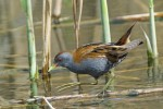 Little Crake/Porzana parva, Family Rails