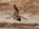 Short-billed Dowitcher/Limnodromus griseus, Family Sandpipers