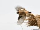 Siberian Stonechat/Saxicola maurus