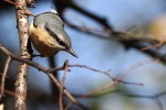Family Nuthatches, Wood Nuthatch/Sitta europaea