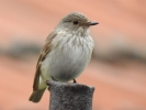 Family Flycatchers, Spotted Flycatcher/Muscicapa striata - Photographer: Петър Петров