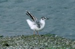 Little Gull/Hydrocoloeus minutus - Photographer: Николай Стоянов
