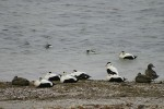 Family Waterfowl, Common Eider/Somateria mollissima