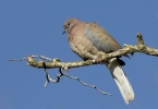 Laughing Dove/Streptopelia senegalensis - Photographer: Zeynel Cebeci