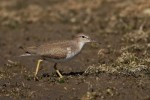 Spotted Sandpiper/Actitis macularius, Family Sandpipers