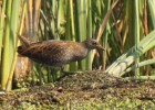 Family Rails, Spotted Crake/Porzana porzana - Photographer: Симеон Гигов