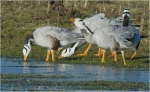 Bar-headed Goose/Anser indicus, Family Waterfowl