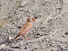 Family Finches, Trumpeter Finch/Bucanetes githagineus