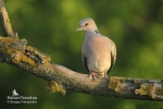 Family Pigeons, Doves, European Turtle-dove/Streptopelia turtur - Photographer: Sergey Panayotov