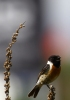 Family Thrushes, Common Stonechat/Saxicola rubicola - Photographer: Plamen Dimitrov