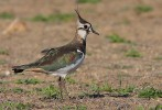 Northern Lapwing/Vanellus vanellus - Photographer: Николай Стайков
