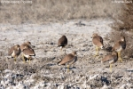 Family Plovers, White-tailed Lapwing/Vanellus leucurus