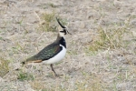 Northern Lapwing/Vanellus vanellus, Family Plovers