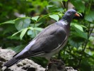 Common Wood-pigeon/Columba palumbus - Photographer: Николай Нейков