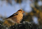 Hawfinch/Coccothraustes coccothraustes - Photographer: Николай Нейков