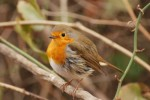 European Robin/Erithacus rubecula - Photographer: Николай Нейков