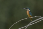 Family Kingfishers, Common Kingfisher/Alcedo atthis