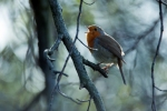 Family Thrushes, European Robin/Erithacus rubecula