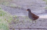 Family Rails, Spotted Crake/Porzana porzana - Photographer: Добромир Терзиев