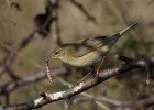 Willow Warbler/Phylloscopus trochilus - Photographer: Добромир Терзиев