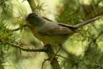 Subalpine Warbler/Sylvia cantillans, Family Warblers