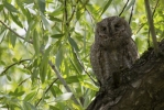 Family Owls, Common Scops-owl/Otus scops - Photographer: Plamen Dimitrov