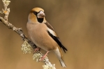 Hawfinch/Coccothraustes coccothraustes - Photographer: Plamen Dimitrov
