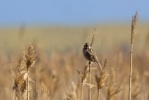 Reed Bunting/Emberiza schoeniclus, Family Buntings