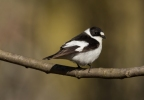 Family Flycatchers, Collared Flycatcher/Ficedula albicollis